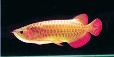 Super Red Arowana - Unique Aro Sdn Bhd - Pioneer in Commercial Captive Breeding… Colorful Fish, Tropical Fish, Freshwater Aquarium Fish, Fish Aquariums, Betta Fish Types, Dragon Fish, Home Aquarium, Boy Fishing, Beautiful Fish