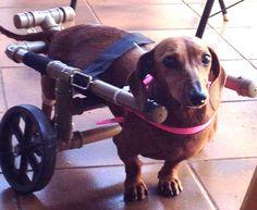 Renata Cobo é quem faz essas cadeiras de rodas para cães que perderam o movimento da parte traseira do corpo , o marido Albano ajudou a construção dessa maravilha feita de p.v.c e rodinhas de carrinho de feira , que Deus abençoe essas pessoas de boa vontade! Diy Dog Wheelchair, Dog Nose, Faith In Humanity, Pet Shop, Puppies, Horses, Pets, Dachshunds, 30