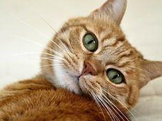 Kissa, Kissan, Kissan Silmä