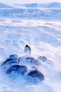 Emperor penguins huddled in blizzard, Aptenodytes forsteri, Antarctica Penguin Parade, Penguin Love, Cute Penguins, Kinds Of Whales, Frans Lanting, Emperor Penguins, Ocean Life, Wildlife Photography, Spirit Animal
