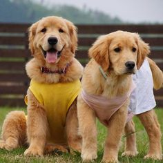 Fuzzy&Lily * Fuzzy and Lily is each other cousin * ファジーとリリーはイトコ同士 *  #ilovegolden_retrievers #pets_perfection #my_loving_pet #dogs_of_instagram #golden_retrieverlovers #pupdoggydog #meowvswoof #bestwoof #dog_features #dogsofinstagram #ilovemydog #puppytales #instagramdogs #dogstagram #nature_cuties #FurrendsUpClose  #goldens_ofinstagram #igclub_dogs #gloriousgoldens #instadog #goldenretriever #puppytrip #retrieversgram  #welovegoldens #Excellent_Dogs #amazing_picturez_animals…