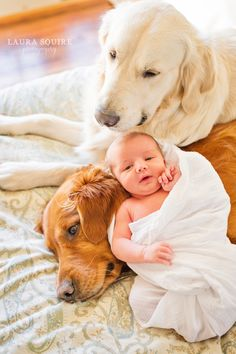 newborn & golden retriever big brothers