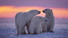 HD WALLPAPERS: Top 75  Polar Bear HD Wallpapers | Backgrounds Ima...