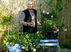 Le dipladénia est une plante à la floraison généreuse mais frileuse en hiver. Il a besoin d'être rentré et pour cela Hubert Fontaine vous montre comment fair...