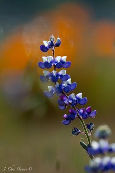 Lupines along the Northwestern Railroad tracks this afternoon in Ukiah, California