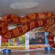 Poss super red salmon jungle girl ❤️ BOAS F❤️R LIFE #boa #boas #boaconstrictor #boaconstrictors #boaofig #boaofinstagram #snake #snakes #snakeofig #snakesofig #snakeofinstagram #petofig #petofinstagram #redtail #redtails #redtailboa #snakebite #redtailboas #snakemorph #snakemorphs #boamorph #boamorphs #boasofinstagram #snake #snakes #reptile #reptiles #reptileofinstagram #snakeofinstagram #snakesofinstagram #coldblooded #Aarhus #Denmark