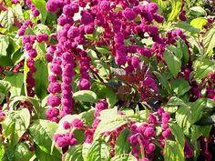 Amaranth Seeds DREADLOCKS Magenta-Burgundy by theseedhouse