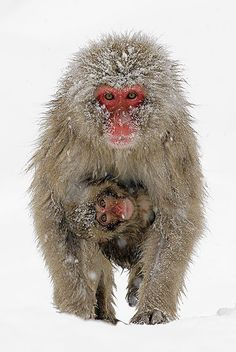 A Japanese macaque waling on snow with its baby hanging on from its underside