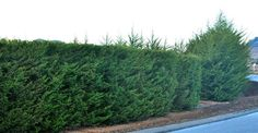 A great example of Monterey Cypress Tree Hedge & Monterey Cypress Trees unclipped. Great privacy screen and windbreak