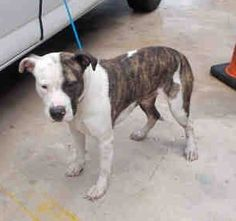 ZEUS (A1677097) I am a male white and brown brindle American Bulldog. The shelter staff think I am about 1 year and 6 months old. I was found as a stray and I may be available for adoption on 02/08/2015. — hier: Miami Dade County Animal Services. https://www.facebook.com/urgentdogsofmiami/photos/pb.191859757515102.-2207520000.1423435759./921758111191926/?type=3&theater