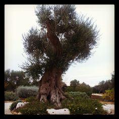 Borgobianco old olive tree - Borgobianco Resort & Spa - Polignano a Mare - Bari - Puglia - Italy - www.borgobianco.it