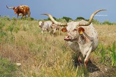 This is Lady Godiva. She is one of many beautiful foundation Texas longhorn cattle in our longhorn herd at GVRlonghorns. We are situated in Central texas, in Dublin Texas, near Stephenville and a close drive to Fort Worth, Dallas, Austin, College Station. #longhorn cow, #longhorncow, #gvrlonghorns Longhorn Cow, Longhorn Cattle, Cattle Farming, Livestock, Cow Photos, Pictures, Austin College, Cattle For Sale, Raising Cattle