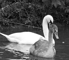 Swan & it's young.