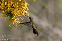 Zumbador Grande (Anthracothorax dominicus) Antil by CarlosEduardo4. @go4fotos