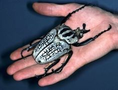 Goliath beetles (Goliathus) are the largest insects in terms of bulk and weight. They can reach over 4 inches long, which doesn't sound like much, til you look at the picture. The beetles are native to the African tropics, where they subsist on tree sap and fruit.