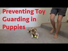 Preventing toy guarding in puppies - dog training - YouTube
