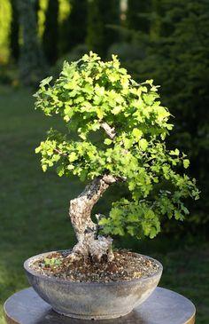 Looks like an oak