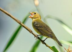 Photo Buffy-fronted Seedeater (Sporophila frontalis) by Luiz Ribenboim | Wiki Aves - The Encyclopedia of Brazilian Birds