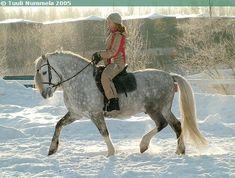 Pony-sized Finnhorse stallion E. Horse Love, Grey Horses, Medieval Books, Types Of Horses, Draft Horses, Dark Eyes, Horse Breeds, Beautiful Horses, Mother Earth