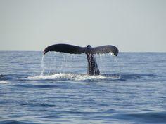 Avistamiento de ballenas en Guayabitos ..Nayarit