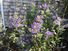 "Caryopteris clandonensis 'Dark Knight' (Blue Mist Shrub) Zones 5-9.  Full sun.  Blooms late summer. Attracts butterflies, hummingbirds. ""Deer Resistant"""