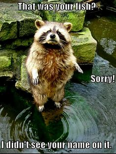 raccoon funny That was your fish?  Sorry!  I didn't see your name on it.