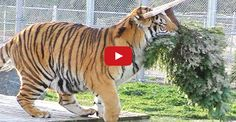 A GRRReat Christmas with Lions Tigers & Bears