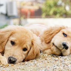 Lily&Fuzzy * #ilovegolden_retrievers #pets_perfection #my_loving_pet #dogs_of_instagram #golden_retrieverlovers #pupdoggydog #meowvswoof #bestwoof #dog_features #dogsofinstagram #ilovemydog #puppytales #instagramdogs #dogstagram #nature_cuties #FurrendsUpClose #goldens_ofinstagram #igclub_dogs #gloriousgoldens #instadog #goldenretriever #puppytrip #retrieversgram #welovegoldens #Excellent_Dogs #puppiesforall #lillyspicoftheweek #cutepetclub #bestfriends_dogs #Excellent_Puppies