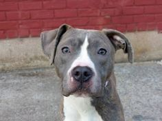 Brooklyn Center - P  My name is MACHO. My Animal ID # is A0996759. I am a male white and black pit bull mix. The shelter thinks I am about 1 YEAR 6 MONTHS old.  I came in the shelter as a OWNER SUR on 04/15/2014 from NY 11694, owner surrender reason stated was COST. I came in with Group/Litter #K14-174011.   KILLED