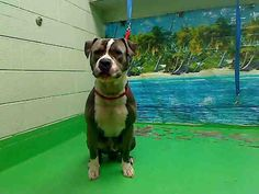 ID#A443385  Shelter staff named me BLUE and I am a male, blue and white Pit Bull Terrier mix.  The shelter thinks I am about 2 years.  I have been at the shelter since Dec 04, 2014 and I am available for adoption now!  If you think I am your missing pet, please call or visit right away. Otherwise, please visit me in person as shelter staff are busy caring for my needs.