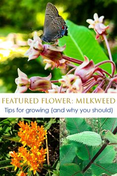 Learn how to attract and support pollinators by planting milkweed with information on the various species and why these plants are so important Horticulture, Compost, Botanical Gardens, Organic Gardening, Planting, Lovers, Group, Board, Blog