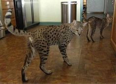 Savannah cat. It's a cat that looks like a leopard with the temperament of a dog.: Big Cat, Kitty Cats, Bengal Cat, Cute Animals, Future Pets, Savanah Cat, Cats Kittens, Savannah Cats