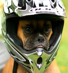 """Let's roll!""  (boxer) I'm gonna try this with my boxer. Layla when we go riding his year."