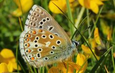 Common Blue 070615 (1) by Richard Collier Taken at Durlston Country Park, Swanage, Dorset via flickr
