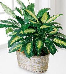 Spathiphyllum & Dieffenbachia Basket ... $72 Green Plants, Tropical Plants, Planting Succulents, Planting Flowers, House Plant Delivery, Plants Delivered, Blooming Plants, Flowering Plants, Potted Plants