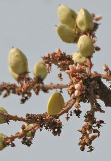 Herbal Remedies: Boswellia - extracts are most commonly used for chronic inflammatory ailments.