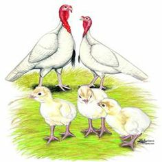 With our Golden 300 Hybrid Layer Duck Hatching Eggs,you can hatch your very own of arguably the most productive egg laying breed on the market. Baby Turkey, Turkey Bird, Wild Turkey, Turkey Breeds, Turkey History, Rhode Island Red, Red Chicken, Raising Chickens, Dibujo