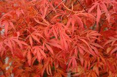 beni shi en japanese maple | Acer palmatum 'Beni Shi En'