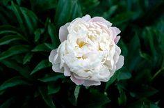 Paeonia lactiflora 'Duchesse de Nemours'. Valkoinen kukinto, keltainen keskus, tuoksuva. Vit blomma, ljusgul mitten, doftar.