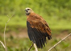 Black collared hawk. - Black collared hawk in the Pantanal.