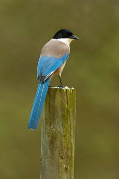 The Azure-winged Magpie is a bird in the crow family. It is 31–35 cm long and similar in overall shape to the European Magpie but is more slender with proportionately smaller legs and bill. It belongs to the genus Cyanopica