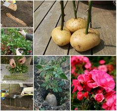 How To Grow Roses In Potatoes wonderfuldiy How to Grow A Potato Vine Plant Garden Vines, Growing Plants, Roses In Potatoes, Potato Vine Plant, Growing Hydrangeas, Propagating Hydrangeas, Plants, Tomato Planter, Growing Roses