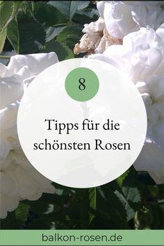 Mit der richtigen Pflege sind #Rosen unkomplizierte un pflegeleichte #Kübelpflanzen Rambler Rose, Flower Boxes, Flowers, Balcony Furniture, Cluster, Fairy Lights, Gardening, Plants, Patio