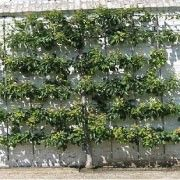 Espalier Magnolia Trees   How to Espalier Plants and Vines