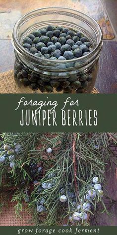 Foraging for juniper berries in the winter is easy and fun Juniper berries have so many uses outside of making gin including both culinary and medicinal uses but please. Healing Herbs, Medicinal Plants, Herbal Remedies, Natural Remedies, Health Remedies, How To Make Gin, Edible Wild Plants, Juniper Berry, Gin Juniper