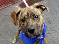TO BE DESTROYED - 04/30/14 Manhattan Center -P  My name is MUGZY. My Animal ID # is A0997598. I am a male br brindle labrador retr and pit bull mix. The shelter thinks I am about 8 MONTHS old.  I came in the shelter as a OWNER SUR on 04/23/2014 from NY 10002, owner surrender reason stated was LLORDPRIVA.  https://www.facebook.com/photo.php?fbid=793978253948389&set=a.611290788883804.1073741851.152876678058553&type=3&theater