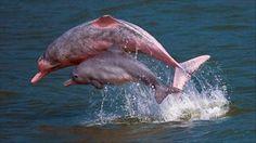 dauphins roses d'amazonie