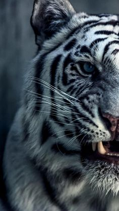 Tiger wallpaper for iPhone Most Beautiful Animals, Majestic Animals, Rare Animals, Beautiful Cats, Animals And Pets, Tiger Wallpaper Iphone, Wild Animal Wallpaper, Nature Wallpaper, Snow Tiger