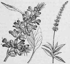 sage flower illustration - Google Search