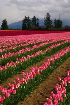 Tulips, Skagit Valley Tulip Festival, Mount Vernon, Washington